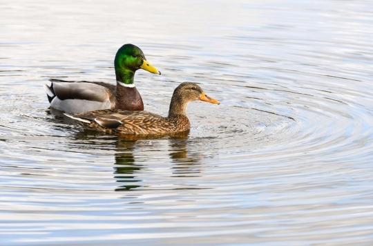 Baignade : attention aux puces de canard dans les lacs  !
