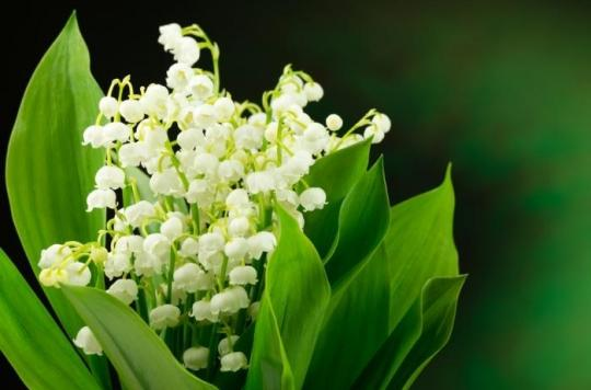 Muguet : attention aux intoxications