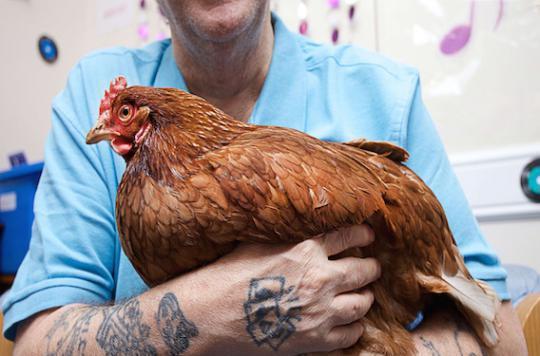 Salmonellose : câliner une poule n'est pas recommandé