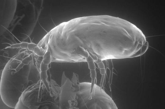 Allergie aux acariens : un vaccin pour l'homme d'ici 10 ans