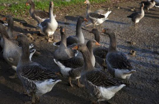 Grippe aviaire : 14 000 canards et 1 000 oies abattus en Dordogne