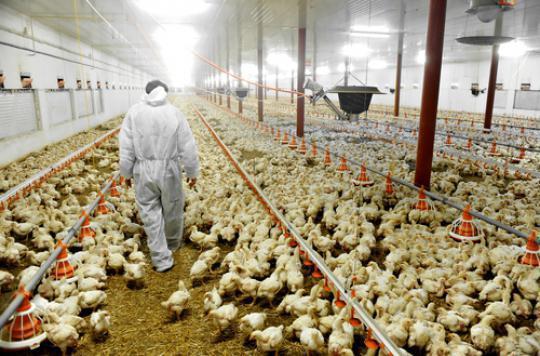 Pyréenées-Atlantiques: 2 500 canards abattus dans le Béarn