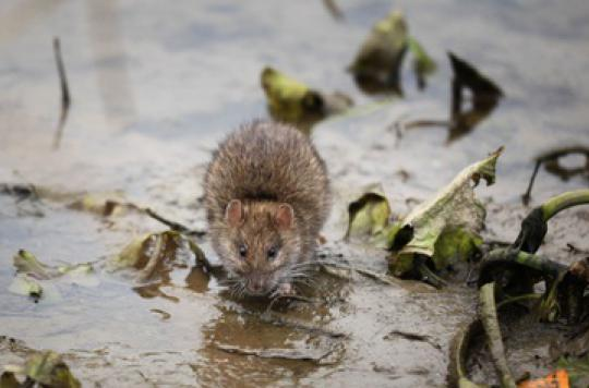 La mairie déclare la guerre aux rats — Paris