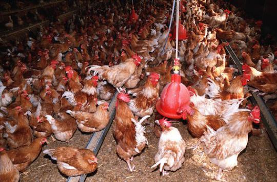 Grippe aviaire : un élevage touché dans le Lot