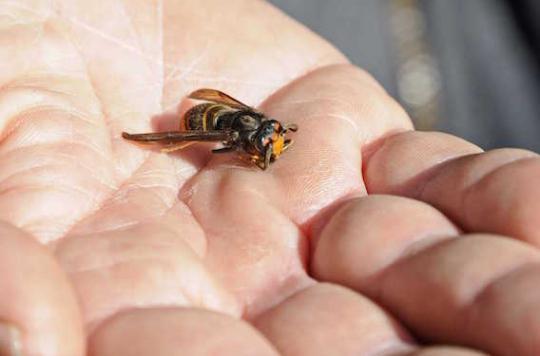 Frelon asiatique : découverte d'une plante carnivore friande de l'insecte
