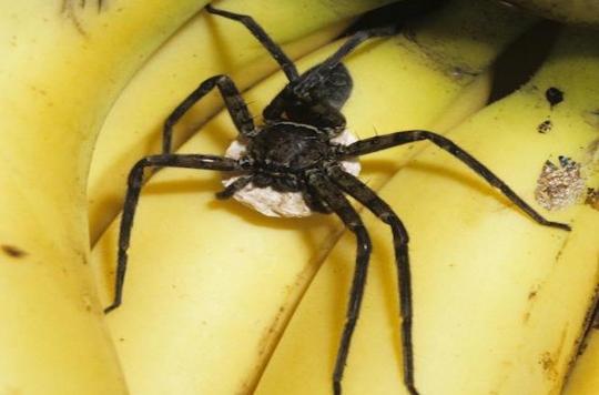 Résoudre les problèmes d'érection grâce à du venin d'araignée