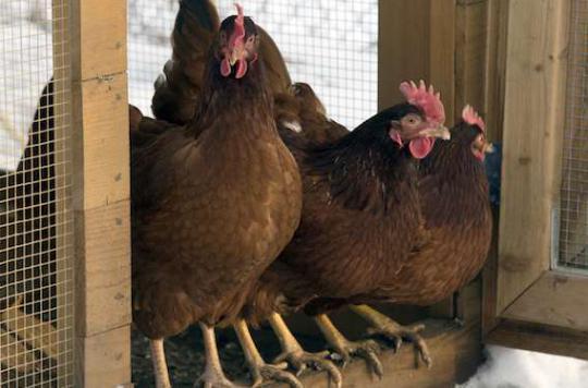Grippe aviaire : les efforts ne doivent pas se relâcher