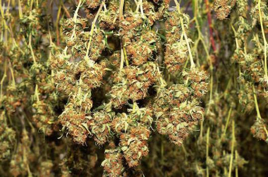Cannabis : les joints d'herbe pure seraient moins nocifs