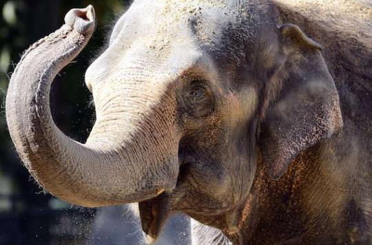 Cancer : pourquoi les éléphants résistent aux tumeurs