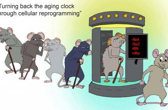 Des chercheurs  reprogramment des cellules de souris pour les rajeunir