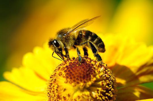 Piqûres d'abeilles: le premier anti-venin testé