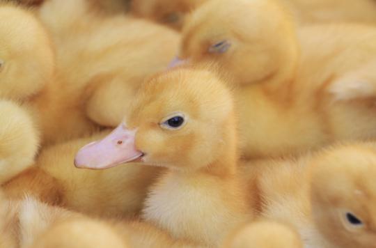 Grippe aviaire : un arrêté prépare le repeuplement des élevages