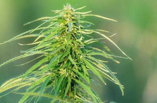 Uruguay :  du cannabis récréatif vendu en pharmacie