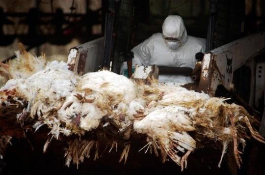 Grippe aviaire dans le Morbihan : quels sont les risques pour l'homme ?