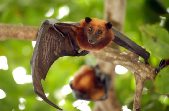 Brésil : des chauves-souris vampires consomment du sang humain