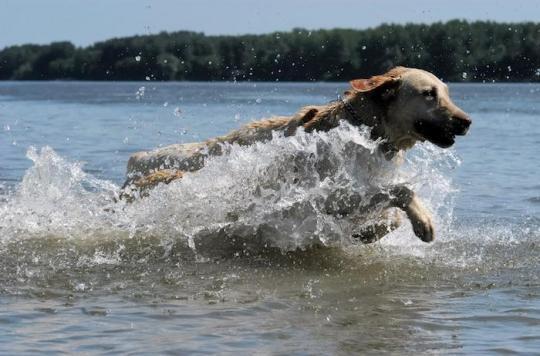 Algues neurotoxiques : huit chiens meurent en se baignant dans la Loire