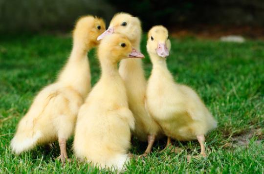 Grippe aviaire : retour des palmipèdes dans 18 départements