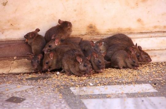Roubaix: une paraplégique victime de 225 morsures de rats