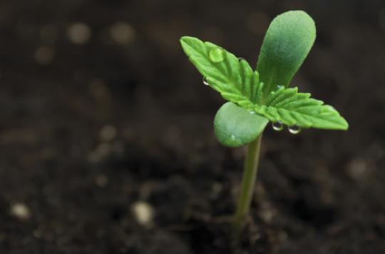 Cannabis : 4 Français sur dix favorables à la dépénalisation