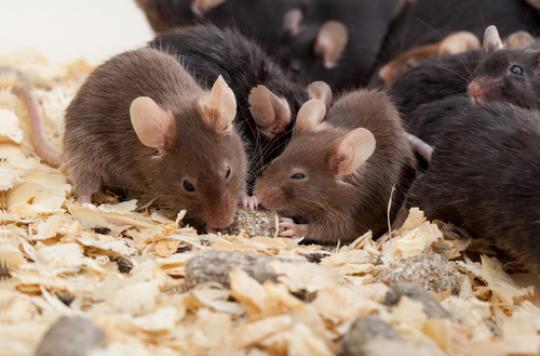 Des souriceaux naissent sans fécondation