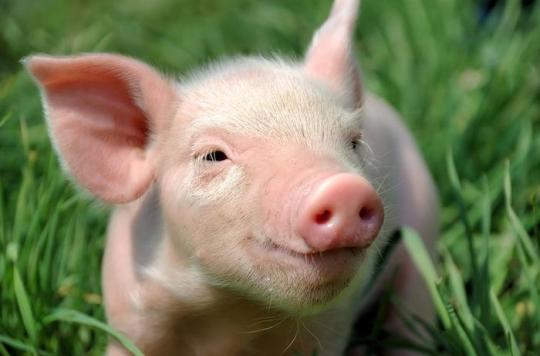 Transplantation : des porcs génétiquement modifiés pour donner leurs organes
