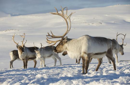 R chauffement climatique les rennes du p re no l la di te - Image rennes noel ...