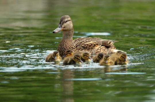 Grippe aviaire : abattage préventif dans 24 communes