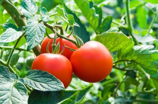 Les tomates cultivées sur mars sans danger pour l'homme