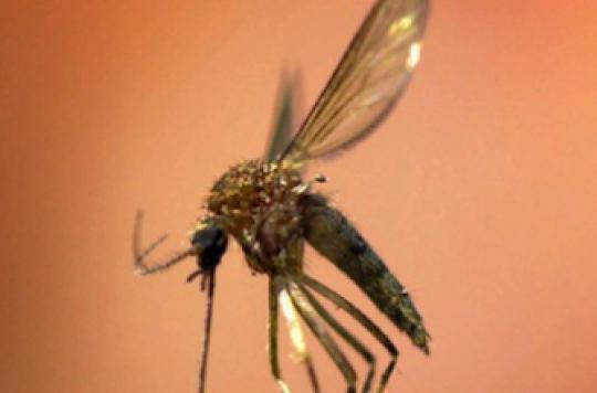 Paludisme : le développement du parasite mieux compris
