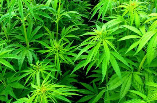 Cannabis : le Conseil Constitutionnel saisi sur la résiliation du bail locatif