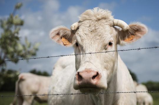 Vache folle : risque sanitaire négligeable pour la France