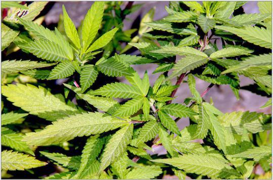 Etats-Unis : ouverture d'un parc de loisirs dédié au cannabis
