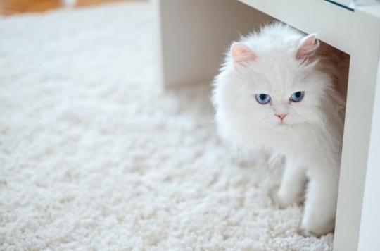Les chats blancs ont plus de risques d'être sourd