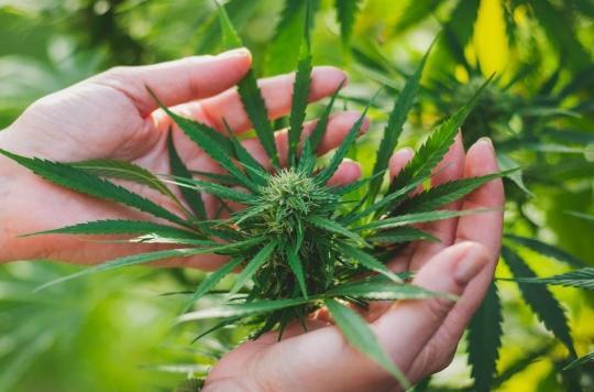 Cannabis thérapeutique : dans l'attente de son autorisation, les petites recettes des malades