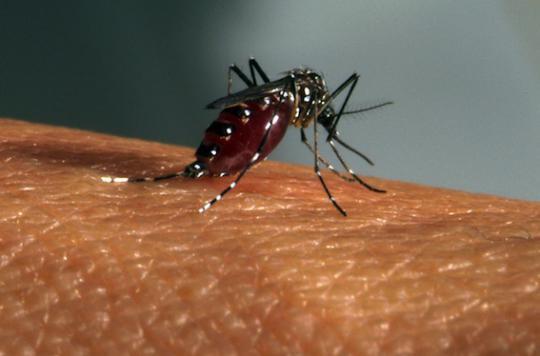 Zika : le moustique Aedes est un médiocre vecteur du virus