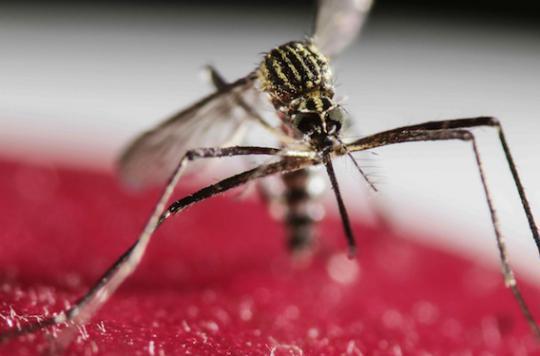Zika : les leçons de l'épidémie de 2013 en Polynésie