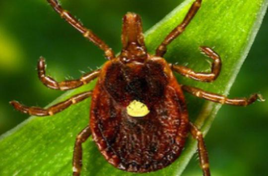 Maladie de Lyme :  de l'eau dans le genou comme marqueur