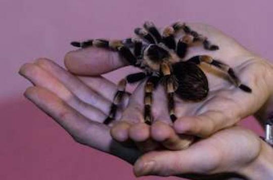 Phobies : les arachnophobes surestiment la taille des araignées